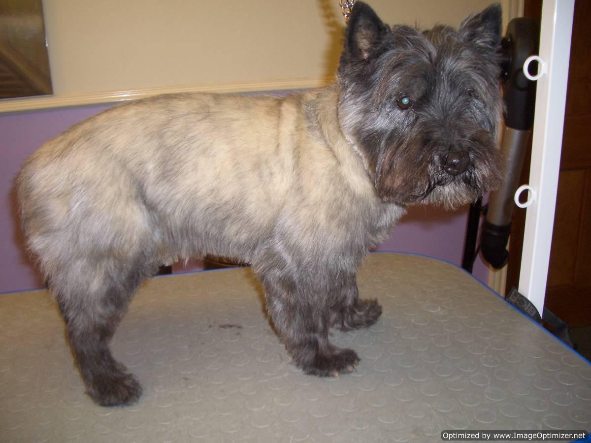 Cairn Terrier Haircuts Cairn Terrier Summer Cut